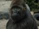 gorila queen
