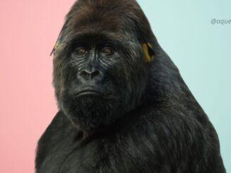 gorila queen break free